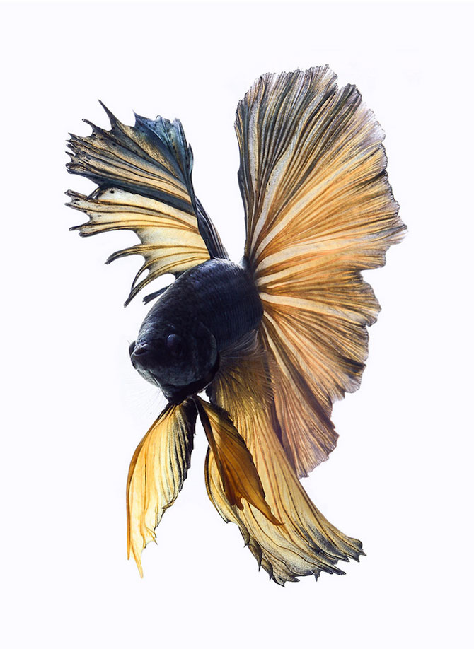 Gratia dansului pestilor in acvariu, de Visarute Angktanavich - Poza 5