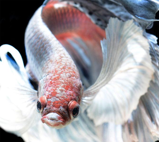 Gratia dansului pestilor in acvariu, de Visarute Angktanavich - Poza 7