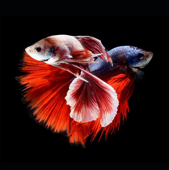 Gratia dansului pestilor in acvariu, de Visarute Angktanavich - Poza 10