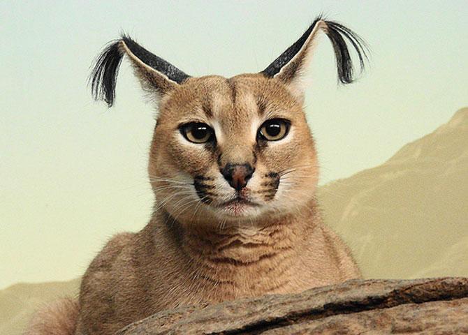 Pisicile caracal sunt foarte simpatice - Poza 5