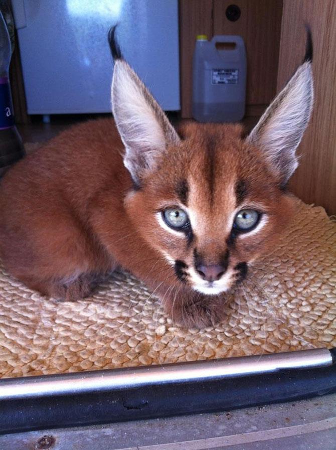 Pisicile caracal sunt foarte simpatice - Poza 6