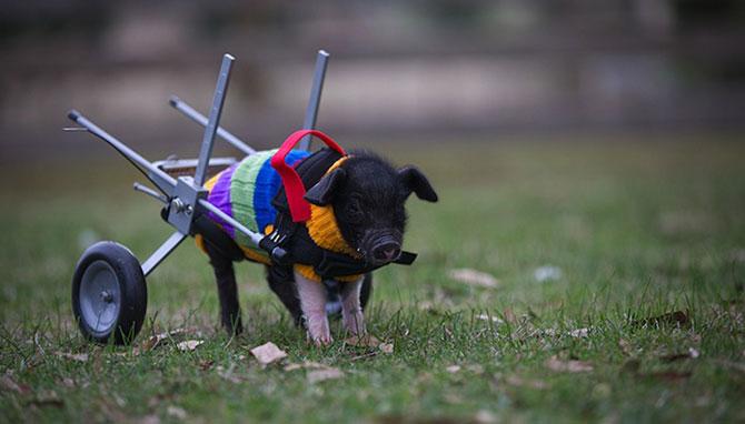 Leon, porcusorul pe rotile din Australia - Poza 1