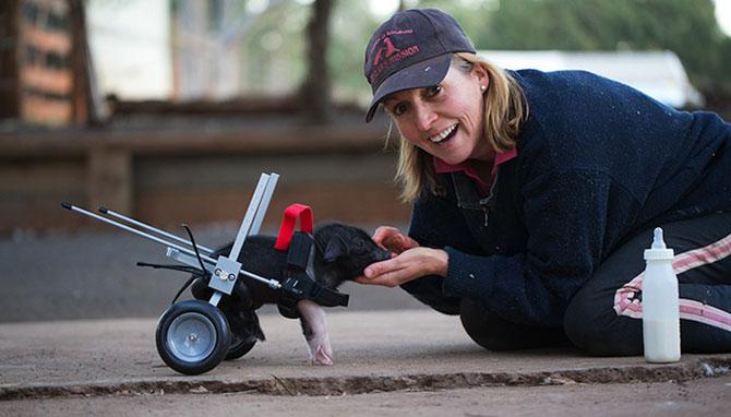 Leon, porcusorul pe rotile din Australia - Poza 2