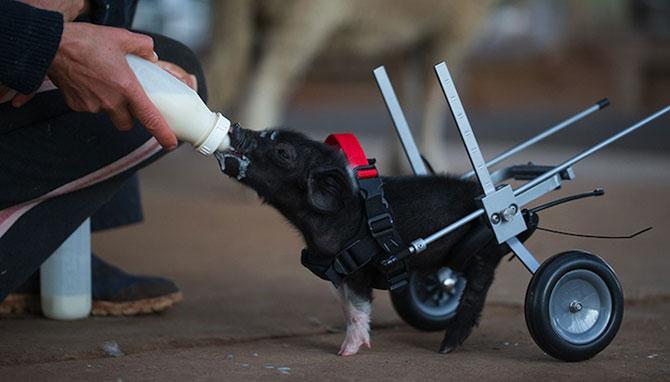 Leon, porcusorul pe rotile din Australia - Poza 3