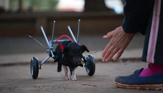 Leon, porcusorul pe rotile din Australia - Poza 4