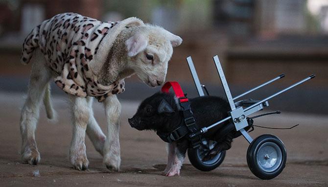 Leon, porcusorul pe rotile din Australia - Poza 5