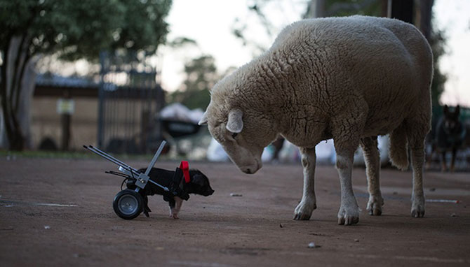 Leon, porcusorul pe rotile din Australia - Poza 6