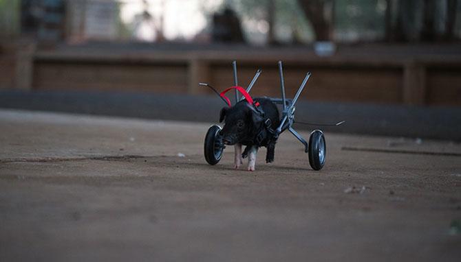 Leon, porcusorul pe rotile din Australia - Poza 8