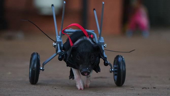 Leon, porcusorul pe rotile din Australia - Poza 9