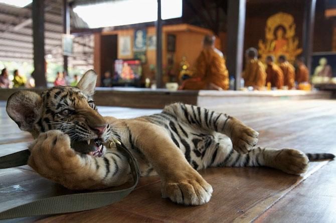 Fotografii tigri Steve Winter