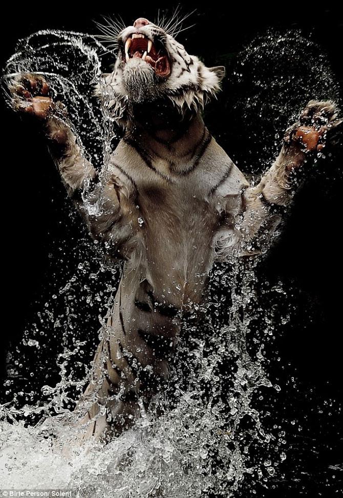 Fascinantii tigri bengalezi la ora mesei - Poza 3