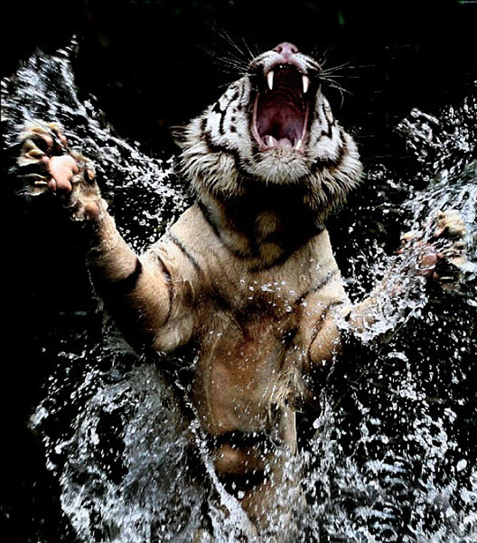 Fascinantii tigri bengalezi la ora mesei - Poza 5