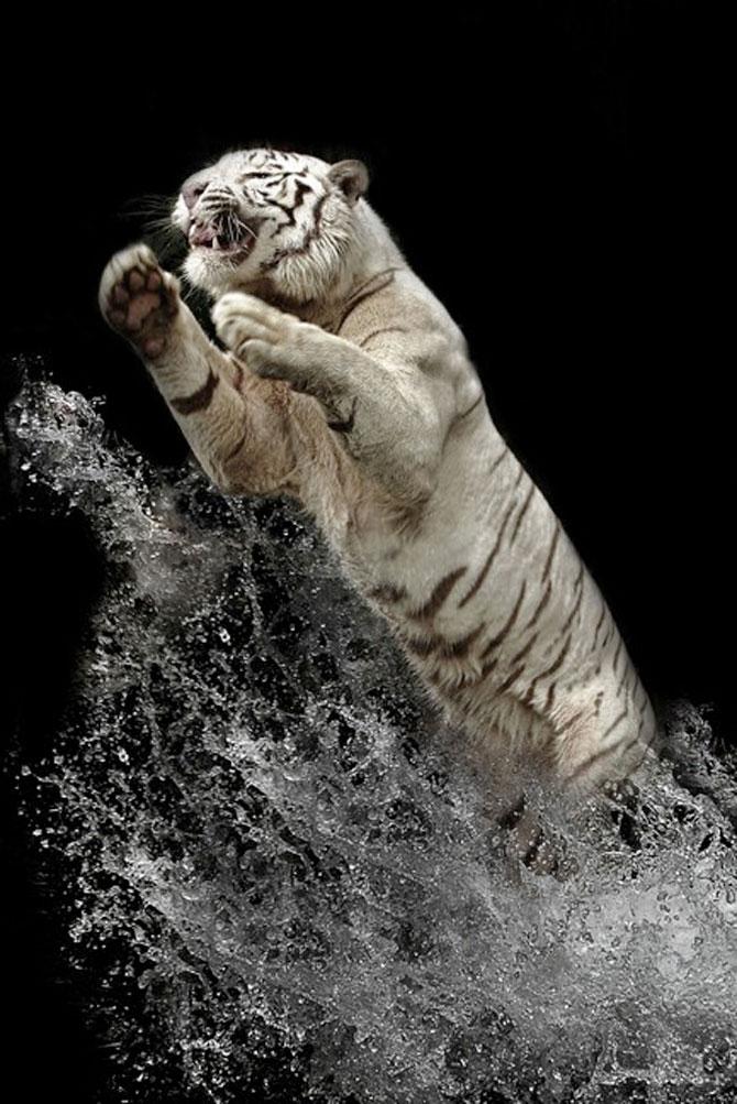 Fascinantii tigri bengalezi la ora mesei - Poza 6