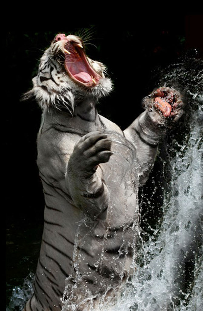 Fascinantii tigri bengalezi la ora mesei - Poza 8
