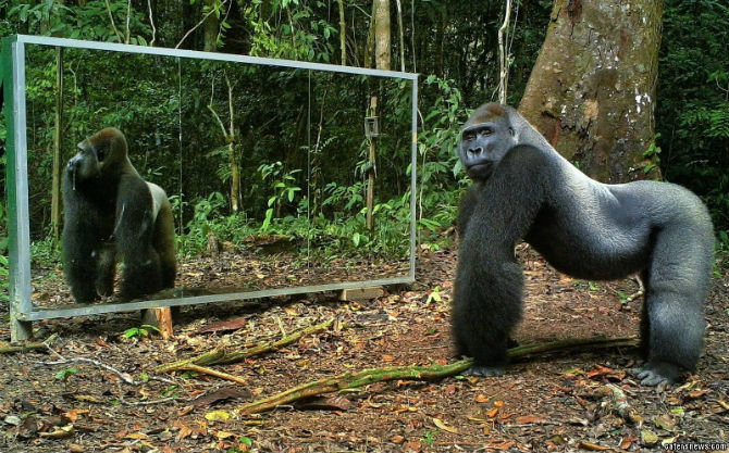 Reactiile animalelor salbatice cand se vad in oglinda - Poza 2