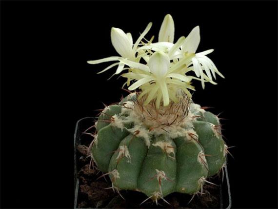 Flori de...cactus! - Poza 11