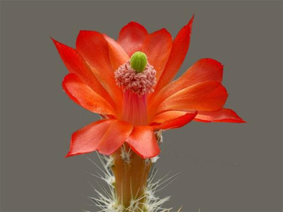 Flori de...cactus! - Poza 12