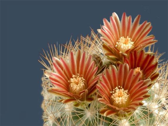Flori de...cactus! - Poza 16