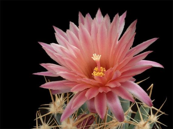 Flori de...cactus! - Poza 17