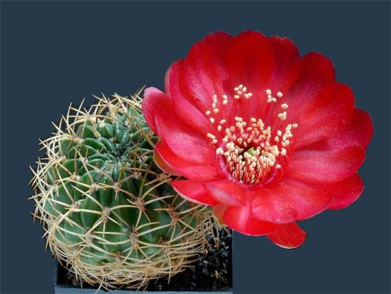 Flori de...cactus! - Poza 18