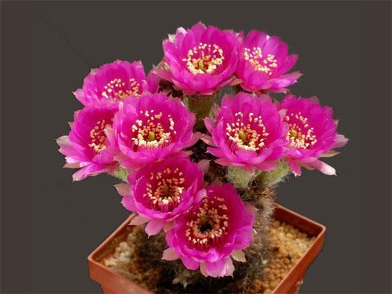 Flori de...cactus! - Poza 19