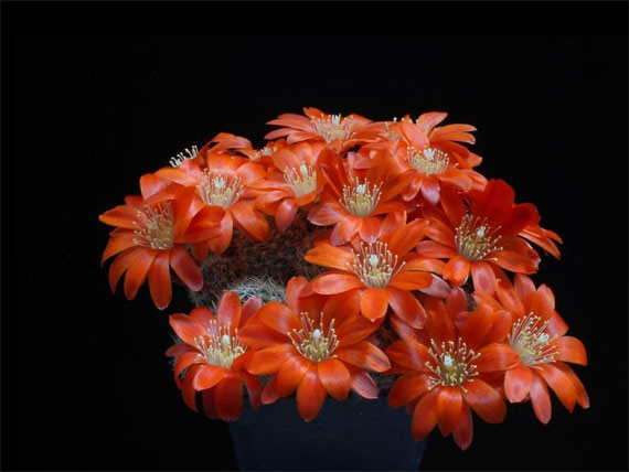 Flori de...cactus! - Poza 2