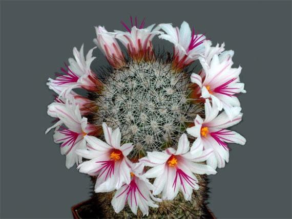 Flori de...cactus! - Poza 20