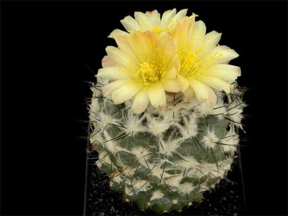 Flori de...cactus! - Poza 21
