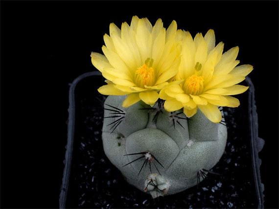Flori de...cactus! - Poza 22