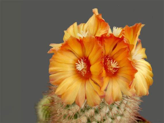 Flori de...cactus! - Poza 23