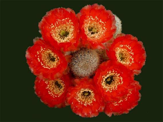 Flori de...cactus! - Poza 25