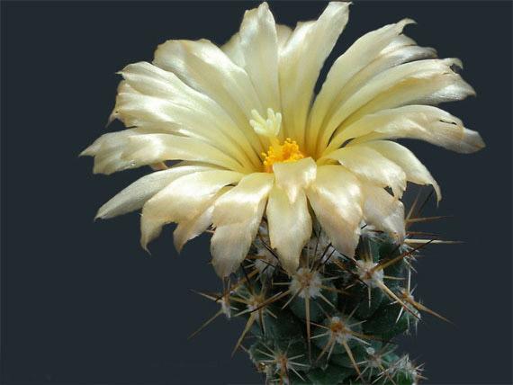 Flori de...cactus! - Poza 26