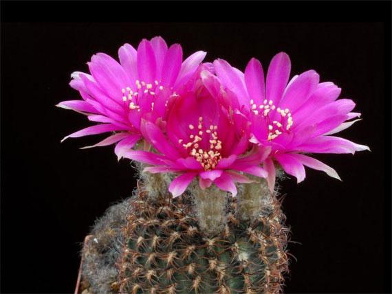 Flori de...cactus! - Poza 27