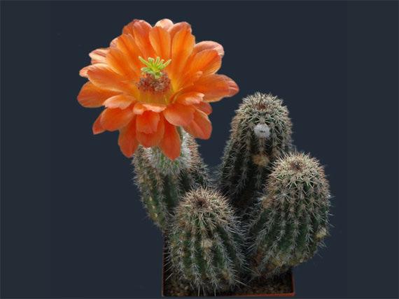 Flori de...cactus! - Poza 3