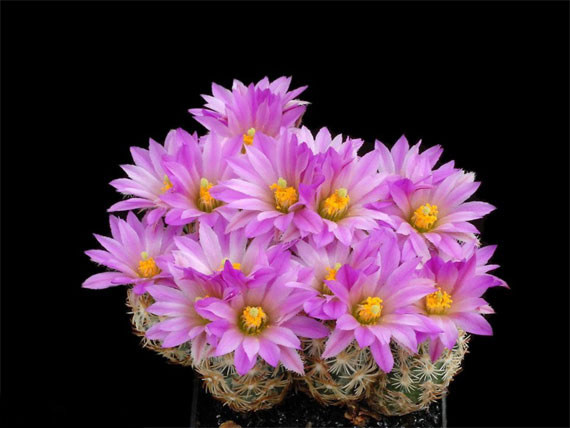 Flori de...cactus! - Poza 4
