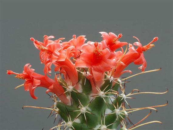 Flori de...cactus! - Poza 5