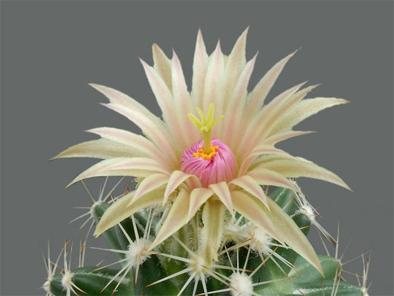 Flori de...cactus! - Poza 6