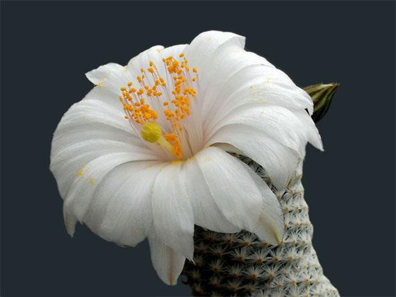 Flori de...cactus! - Poza 7