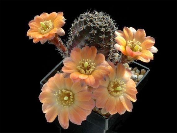 Flori de...cactus! - Poza 8