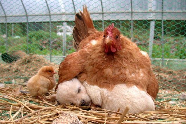 Cine a fost primul: oul, cainele sau gaina? - Poza 1