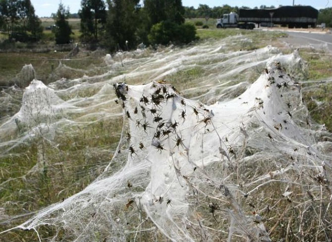 Spectaculoasa ploaie cu paianjeni din Australia
