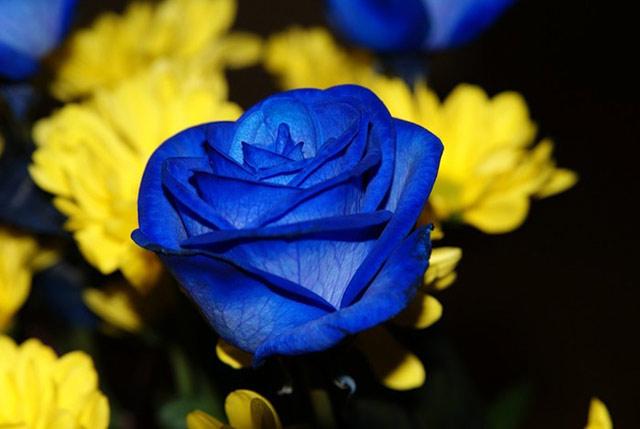 Trandafiri albastri - Poza 1