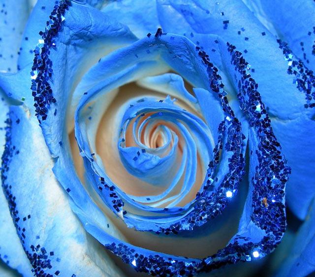 Trandafiri albastri - Poza 10