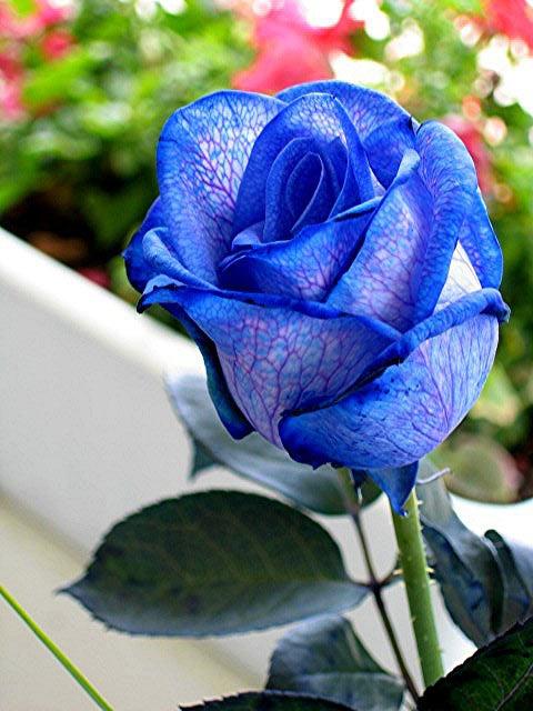 Trandafiri albastri - Poza 11
