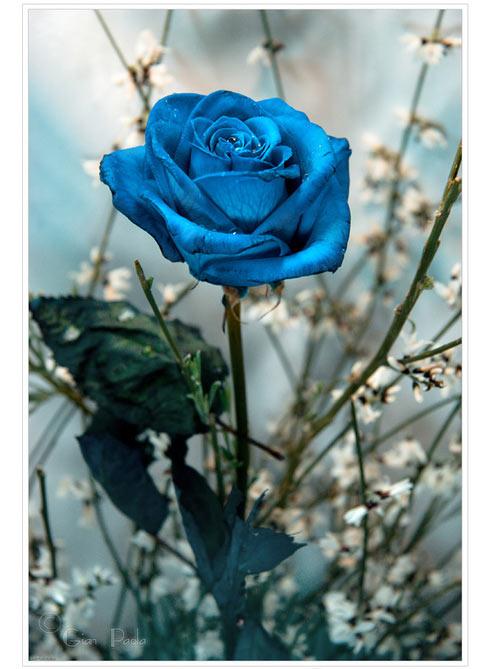 Trandafiri albastri - Poza 12