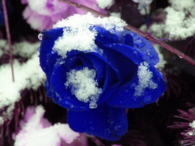 Trandafiri albastri - Poza 2