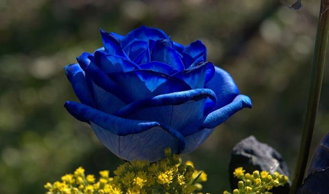 Trandafiri albastri - Poza 3