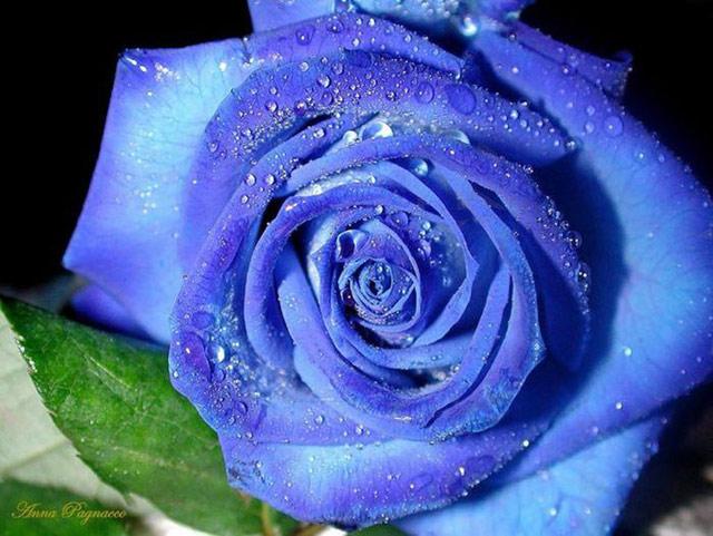 Trandafiri albastri - Poza 4