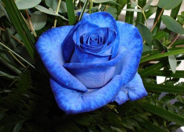 Trandafiri albastri - Poza 5