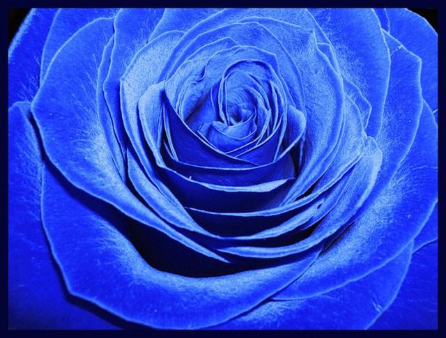 Trandafiri albastri - Poza 6